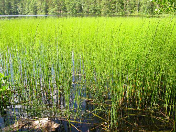 Living horse tails (Equisetum) in Finland.