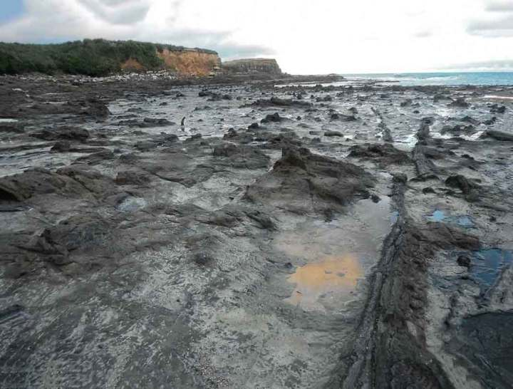 A penguin walking through the Jurassic fossil forest at Curio Bay, New Zealand. Can you see it? (: