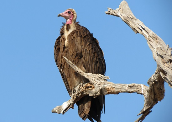 Hooded_Vulture