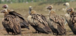 More ILO Vultures