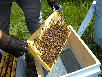Victory Bees checking the hives placed at local organic seacoast farms.