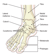 The foot is a very complex system of bones, muscles, ligaments and tendons, each moving in unison with the next. Affect even one joint, and you affect them all.