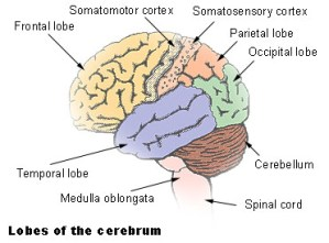 Lobes of the Brain. Image from Wikimedia Commons