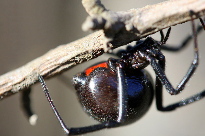 700px-Black_Widow_Spider_California