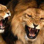 Un suicidaire se jette dans la fosse aux lions d'un zoo au Chili