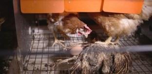L'horreur dans un élevage de poules pondeuses