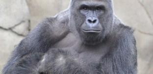 États-Unis : Un enfant chute dans l'enclos d'un gorille, l'animal est abattu