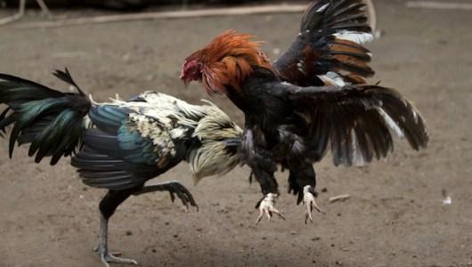 Plantean preservar peleas de gallos sin necesidad de combate a muerte