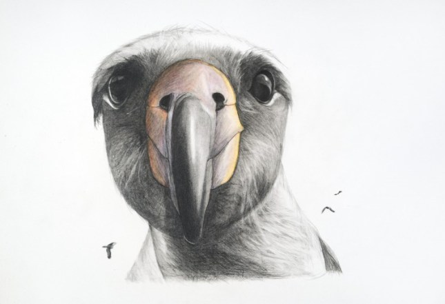 Artwork: Rebecca Clark, Albatross, graphite, colored pencil, and pastel on paper, 2013