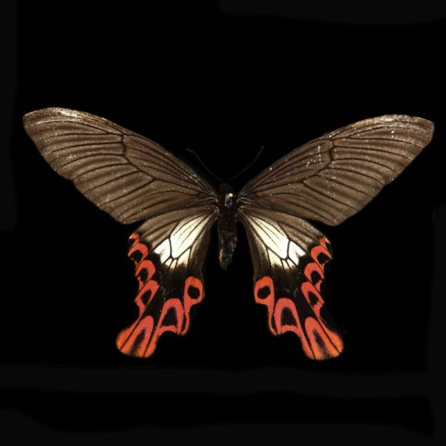 Photo: Agehana maraho, Broad-tailed Swallowtail, North Carolina State University Insect Museum, 2012