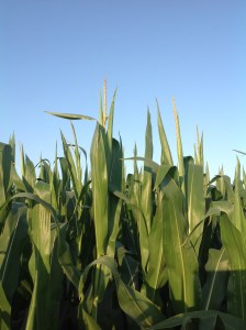 Why I Grow GE Crops