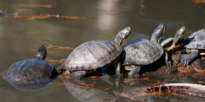 turtles-in-line