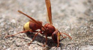 oriental-hornet