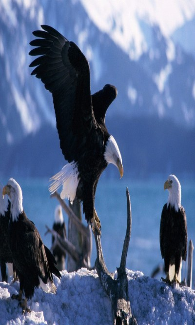 Eagle Live Wallpaper Free Android Live Wallpaper download - Download the Free Eagle Live ...