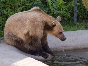 Drinking Bear