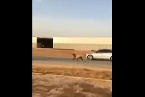 بالفيديو.. المارة يلاحقون خروف هرب من صاحبه بطريق سريع