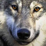 Wolf Harvest Against Quota – Updated 11/17/2011