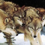 Wolf Harvest Against Quota Updated – 11/14/2011
