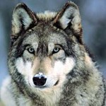 FWP Requires Mandatory Wolf Trapping Certification Class