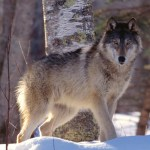 Idaho Wolf Hunter Tags 2 Wolves