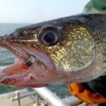 An Update on Canyon Ferry Walleye Fishing from Paul Lindsoe