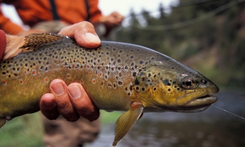 Still Fly Fishing Opportunities in Bozeman Area Fishing Report