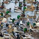 Waterfowl Seasons Set – Record breeding duck populations!