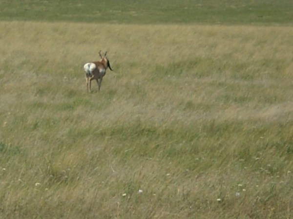 The Crazy Montana Antelope With Three Horns