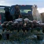 Montana Mallards: A Duck Hunters Delight