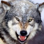 Wolf Quota More than Halfway met in Wyoming