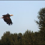 Bald Eagle Over The Bitterroot River: MORS Picture of the Week