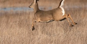 whitetail_deer
