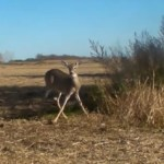 Coyote Trappers Release Deer from Trap Unharmed