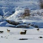 Montana Wolf Harvest Update as of 1-28-13