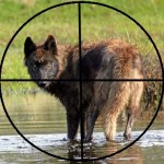 Montana Wolf Season Closures Near Yellowstone RE-OPENED