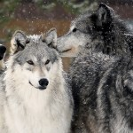 Montana's Wolf Hunting and Trapping Season Ends This Week