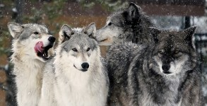cr974x405wolf-pack-high-country-wolves_a52