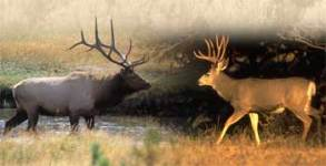 deer-vs-elk