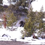 Grizzly Bears Waking Up In Yellowstone Park