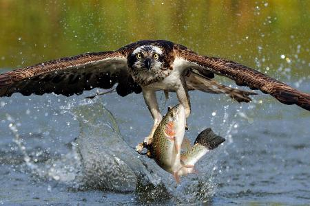 osprey-catching-trout-scott-linstead