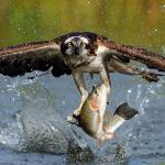 """Fishing for Trout and Catching an Osprey"" by Bradley Lehuta"