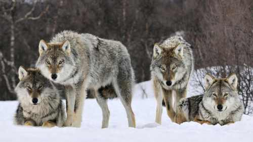 wolfpack-53018