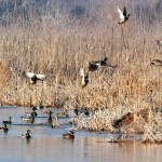 FWP Commission to Meet August 30th to Adopt Upcoming Waterfowl Regulations