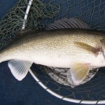 Improving Walleye Fishing in the Eastern Montana Fishing Report: 6/13/12