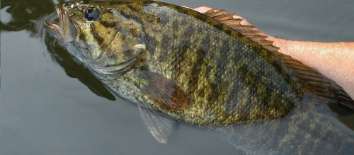 big-smallmouth-close-up