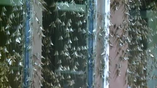 Mayflies in La Crosse, Wisconsin