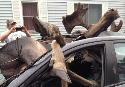 Moose Vs. Car