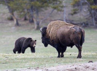 griz_bison