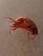 Amphipods from flood - 05.19.2016 - 10.50.51