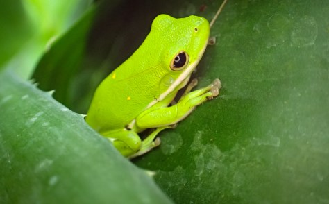 Green treefrog - Hyla cinerea - 05.20.2016 - 12.51.35